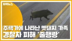 [자막뉴스] 주택가에 나타난 멧돼지 가족...경찰차 피해 '줄행랑'