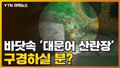 [자막뉴스] '축구장 154개 면적' 국내 첫 대문어 산란장 보니...