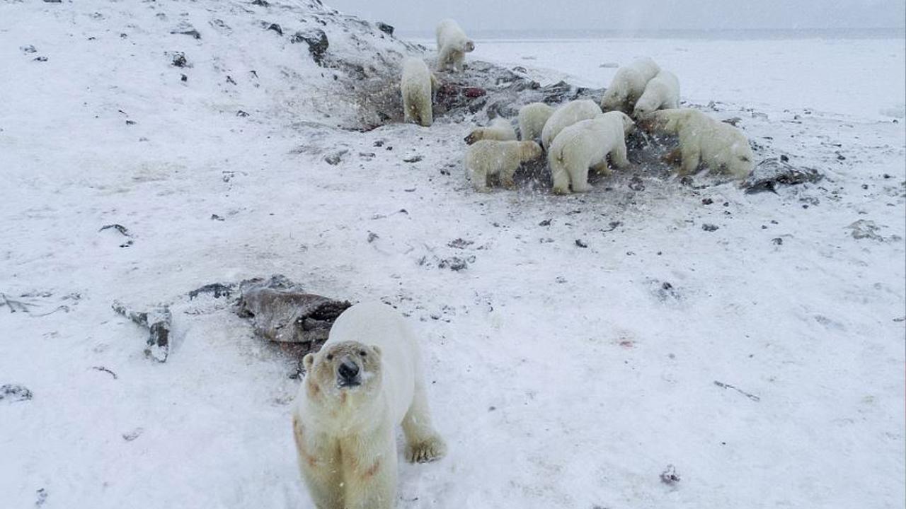 먹이 찾아 러시아 마을로 내려온 북극곰 56마리