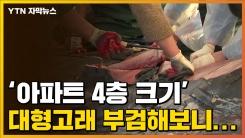 [자막뉴스] '아파트 4층 크기' 대형고래 부검해보니...