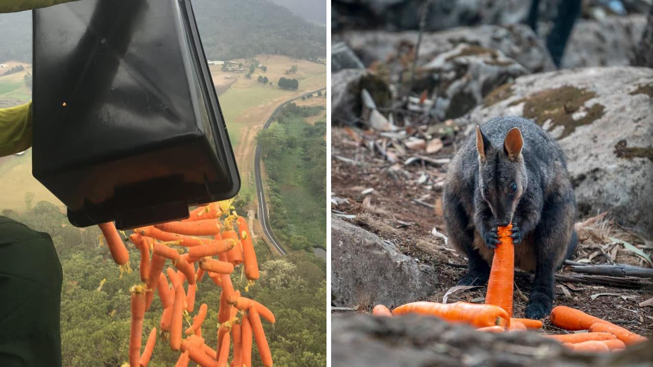 산불로 터전 잃은 야생동물 위해 당근·고구마 2,200kg 뿌린 호주