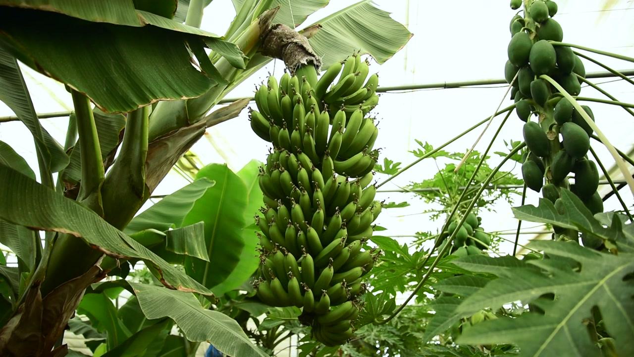 포근한 겨울...충남 태안서 바나나·파파야 '주렁주렁'