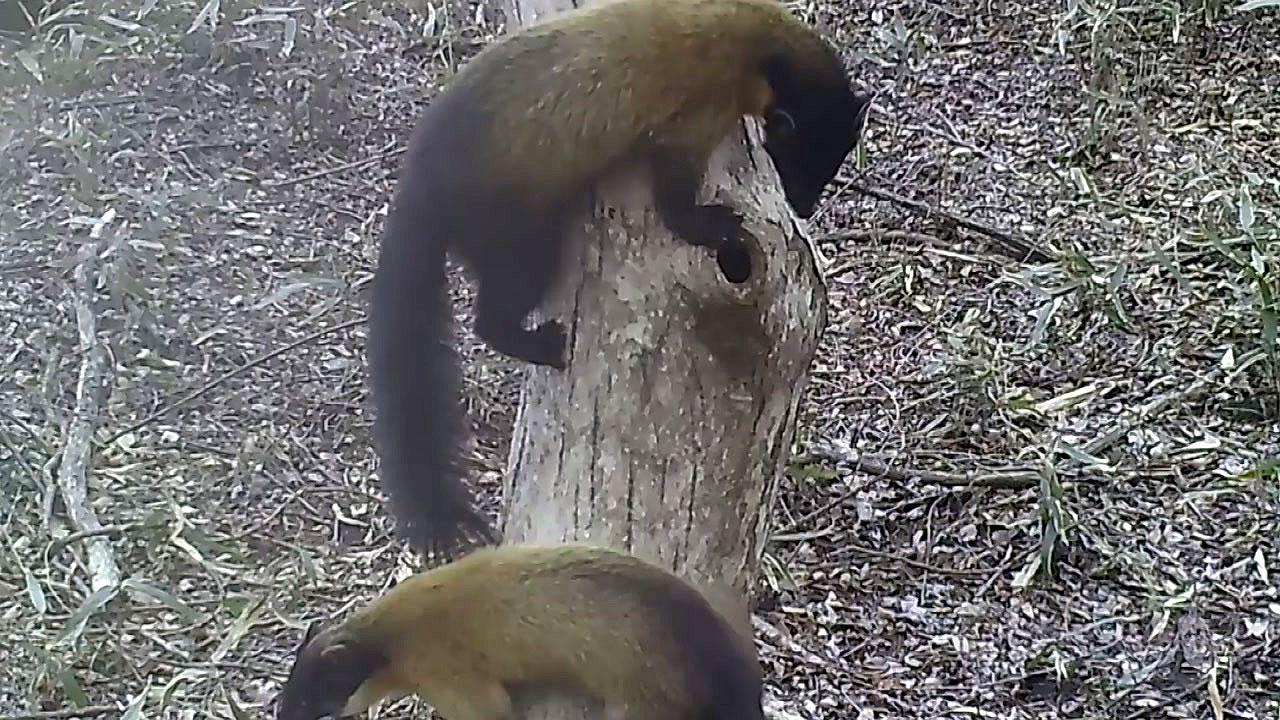 [영상] 지리산 담비와 삵의 하늘다람쥐 사냥...영상에 담긴 희귀 모습