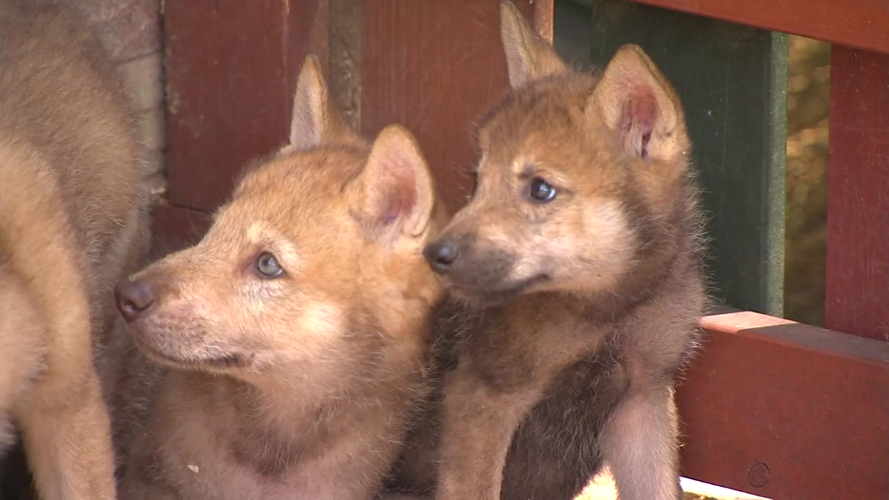 동물원 문 닫은 사이 찾아온 한국늑대 6마리
