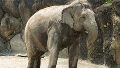 인도 남성, 목숨 구해준 코끼리에게 유산 남겨...가족 반대