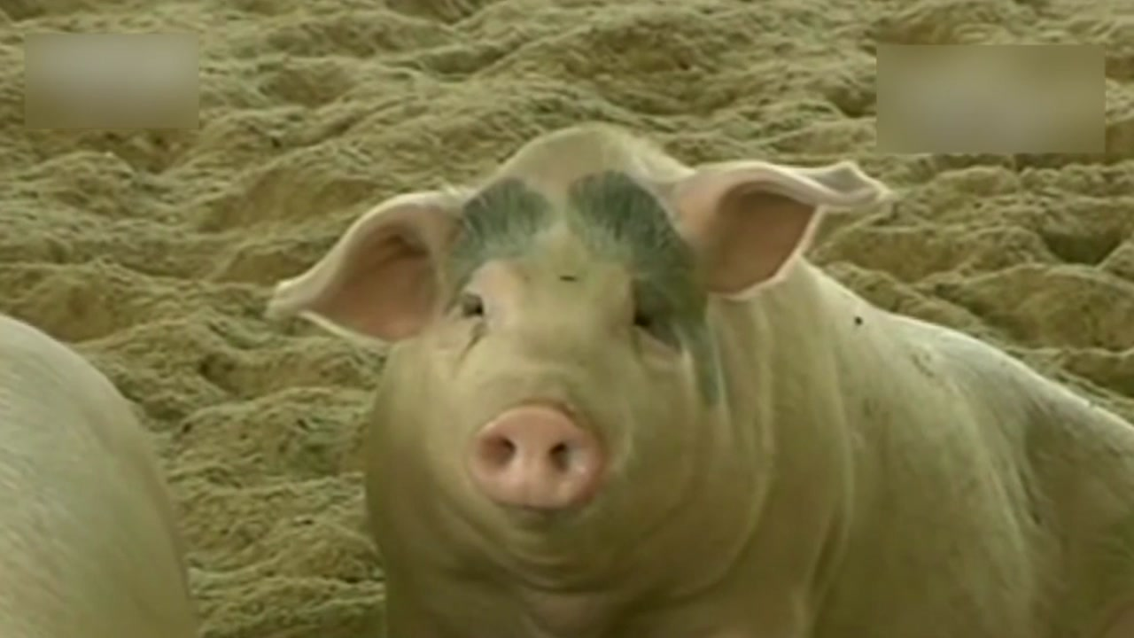 중국, 대유행 가능성 '신종 돼지독감' 바이러스 발견