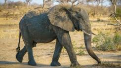 아프리카서 원인 모를 '수백 마리 코끼리 사체' 발견