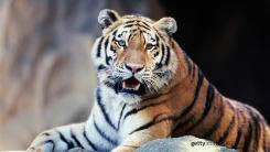 동물원 사육사, 관람객 보는 앞에서 호랑이에 물려 숨져