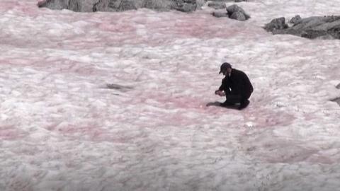 분홍빛에 달콤한 냄새…알프스 '수박 눈'의 정체는?