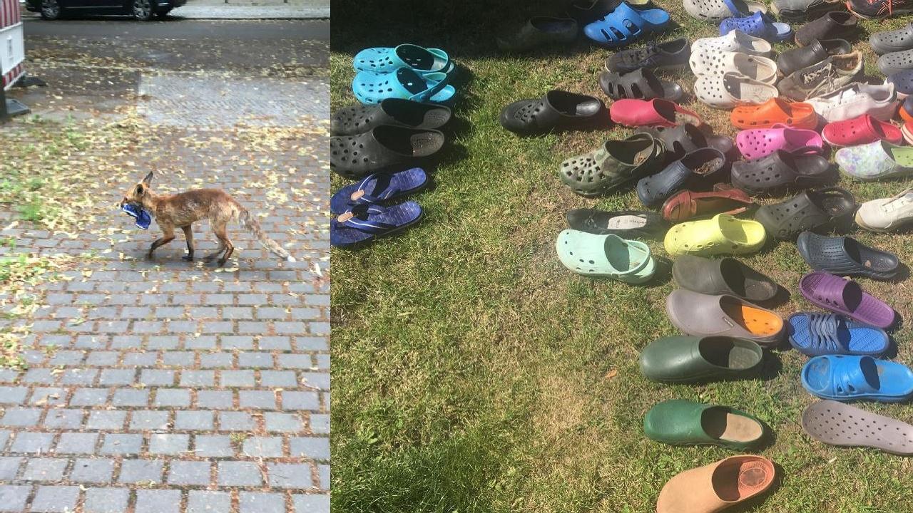 베를린서 신발 100켤레 훔쳐 간 도둑...잡고 보니 여우