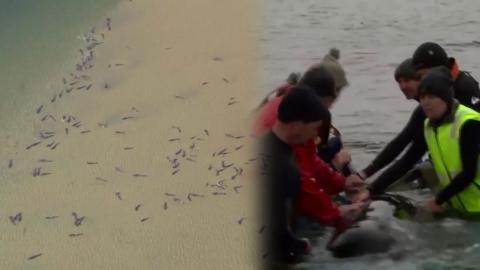오도 가도 못하는 돌고래 270마리 구출작전