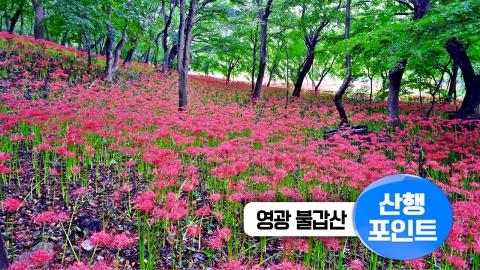 [산행포인트]  '불갑사'에서 꽃무릇길 따라 '용천사'까지