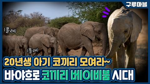 [구루마블] 코끼리 베이비붐! 케냐 코끼리 출산율 급증의 이유는?