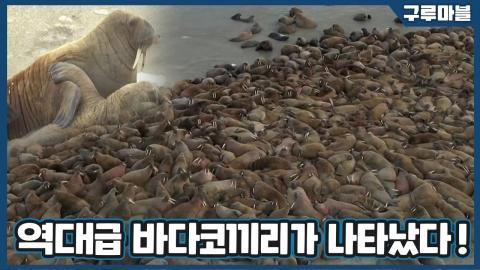 [구루마블] 러시아 해변 점령한 수천 마리 바다코끼리
