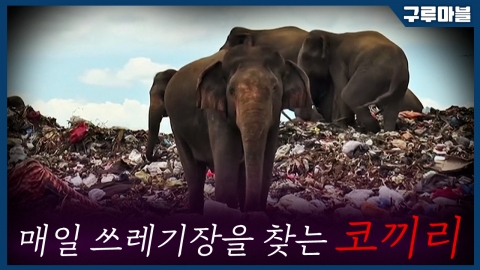 [구루마블] 매일 쓰레기 매립지를 찾아오는 코끼리 떼의 사연