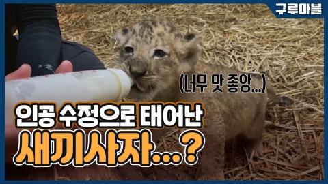 [구루마블] 인공 수정으로 태어난 새끼 사자...?