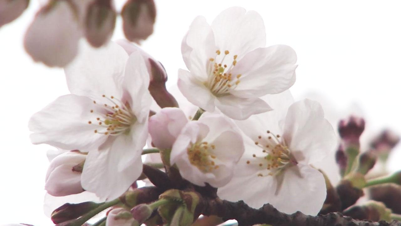 """[기상센터][날씨]    100 년 만에 가장 먼저 피는 서울의 벚꽃 … """"봄과 여름이 길어졌다"""""""