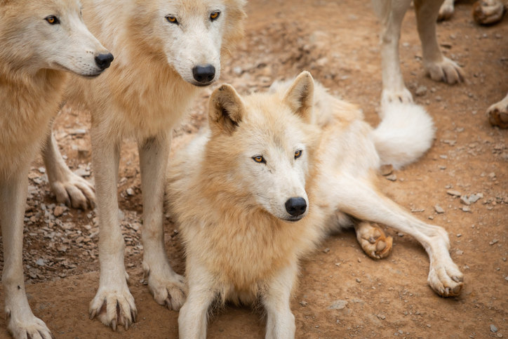 中 동물원서 주인 실수로 늑대 우리에 떨어진 반려견
