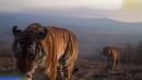 중국 옌볜서 야생 호랑이 4마리 한꺼번에 촬영돼