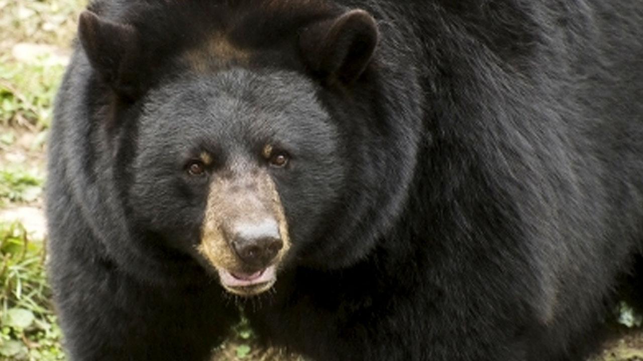 사람 공격해 숨지게 한 흑곰...위장에서 유해 일부 발견