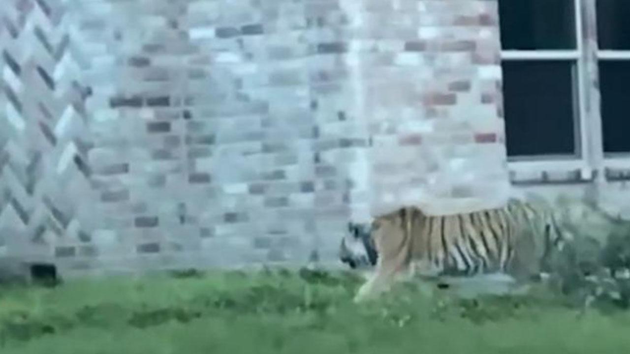 美 가정집서 키우던 호랑이 실종...동네 주민들 '불안'