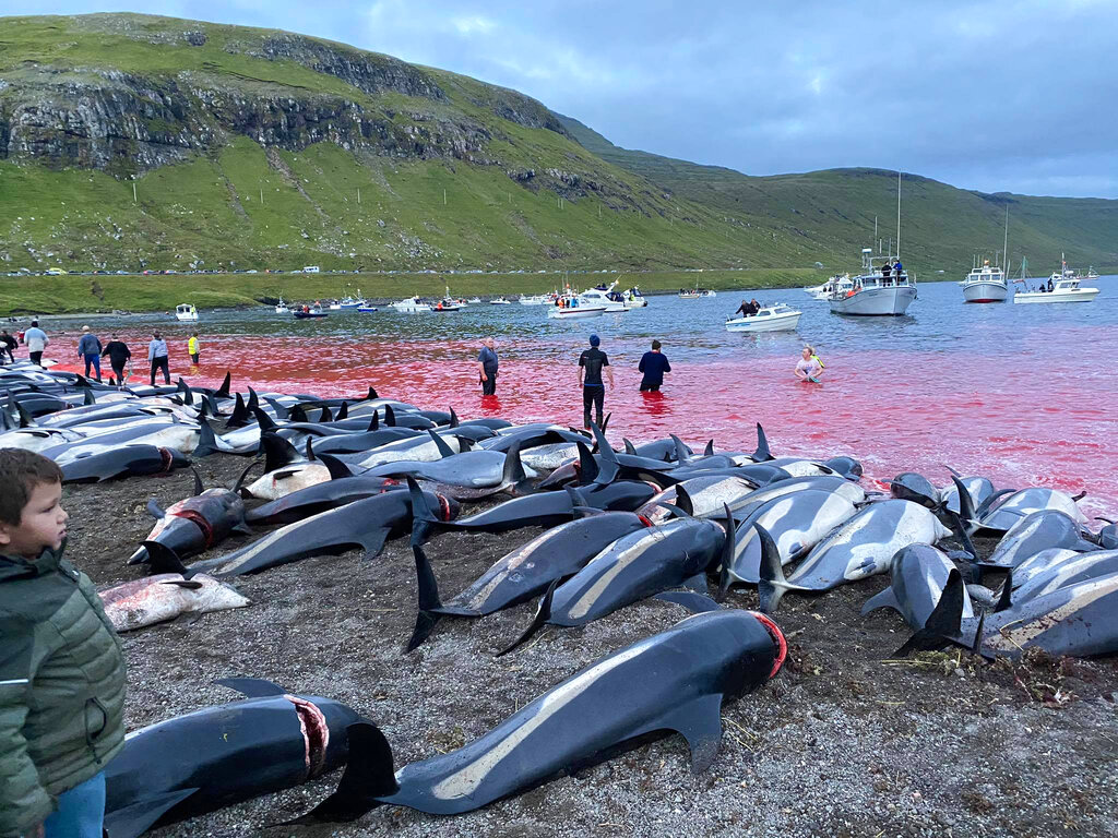 '전통 사냥이냐 학살이냐' 하루 만에 돌고래 1400마리 떼죽음