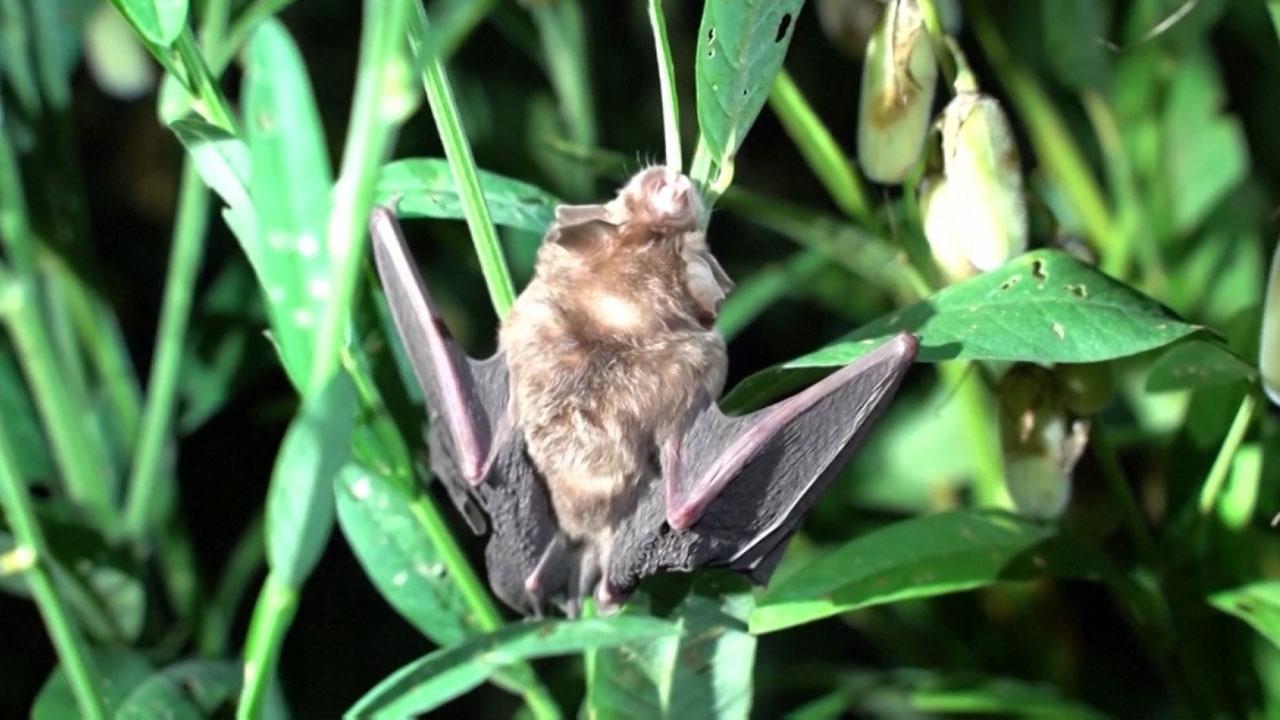라오스 박쥐에서 코로나19와 96.8% 일치하는 바이러스 발견