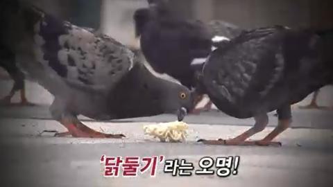 [4회 기사] '닭둘기' 문제, 이대로 방치해도 되나요?
