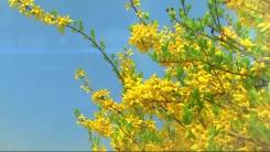 봄의 시작을 알리는 첫 번째 꽃, 개나리