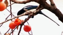 감나무 꼭대기에 남긴 온정, '○○밥'