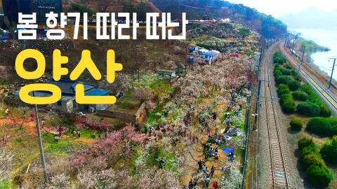 [YTN 구석구석 코리아] 봄 향기 따라 떠난, 양산