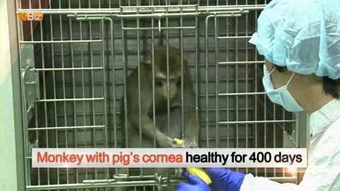 [K-BIZ] Monkey Transplanted with Porcine Cornea