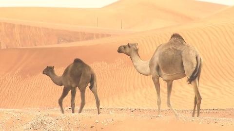 사우디 메르스 확산, 낙타 접촉 금물