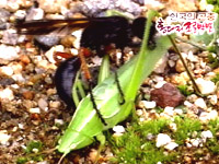 땅파기의 명수-홍다리조롱박벌