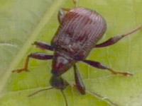 숲 속의 일급 재단사 -거위벌레