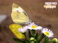 배추흰나비