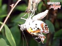 별박이세줄나비의 아름다운 우화!