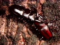 넓적사슴벌레
