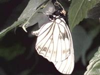 흑색알락나비!