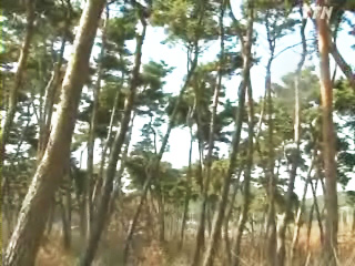 부안군 솔숲