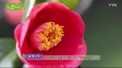 [삼삼오오 우리 숲 이야기] 동백나무