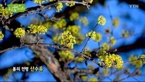 [삼삼오오 우리 숲 이야기] 산수유나무