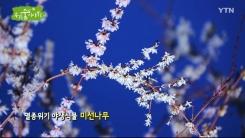 [삼삼오오 우리 숲 이야기] 미선나무