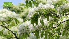 [삼삼오오 우리 숲 이야기] 이팝나무, 할미꽃