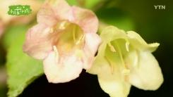[삼삼오오 우리 숲 이야기] 병꽃나무, 양지꽃