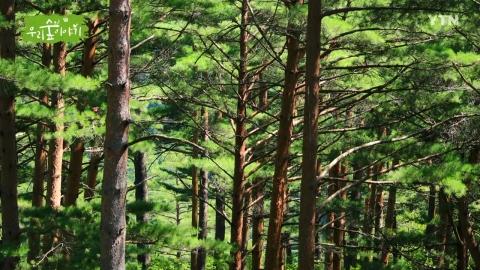 [삼삼오오 우리 숲 이야기] 금강소나무 숲길, 큰달맞이꽃