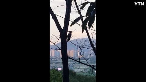 [기타] 아차산딱따구리