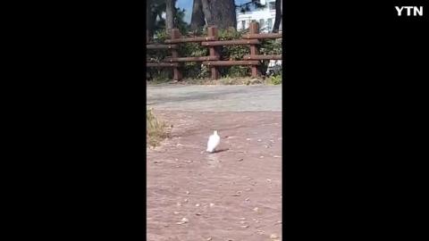 [기타] 완전 흰색비둘기 영상이요~