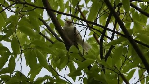 [신기한자연] 흰참새