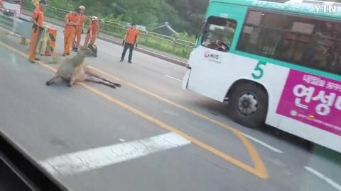 가재울역 근처에서 송아지만한 동물이 버스에 사고남